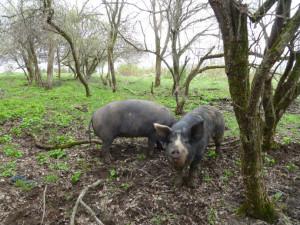 pigs_on_pasture_690